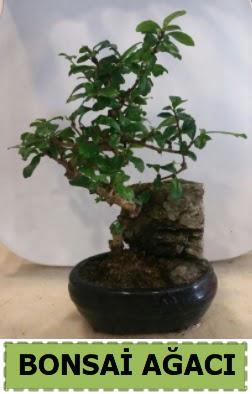 Bonsai ağacı japon ağacı satışı  Türkiye çiçek yolla