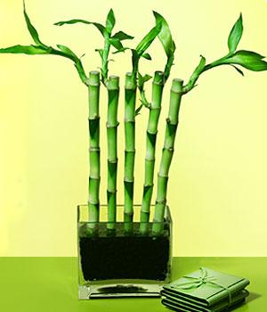 Türkiye çiçek siparişi vermek  Good Harmony Lucky Bamboo camda