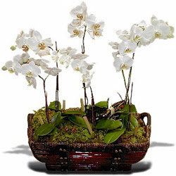 Türkiye İnternetten çiçek siparişi  Sepet içerisinde saksi canli 3 adet orkide