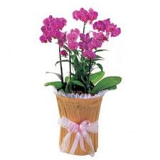 Türkiye hediye çiçek yolla  saksi iiçerisinde 3 dal orkide