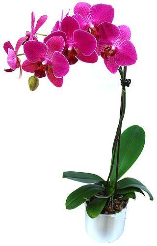 Türkiye çiçek gönderme  saksi orkide çiçegi