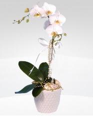 1 dallı orkide saksı çiçeği  Türkiye çiçek online çiçek siparişi