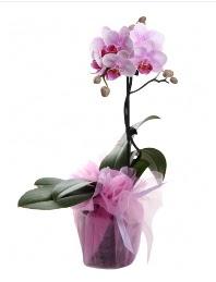 1 dal pembe orkide saksı çiçeği  Türkiye 14 şubat sevgililer günü çiçek