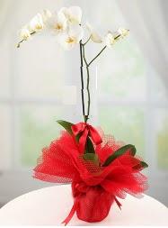 1 dal beyaz orkide saksı çiçeği  Türkiye hediye sevgilime hediye çiçek