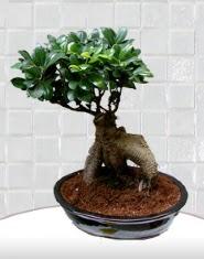 saksı çiçeği japon ağacı bonsai  Türkiye 14 şubat sevgililer günü çiçek