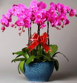 7 dallı mor orkide  Türkiye cicek , cicekci