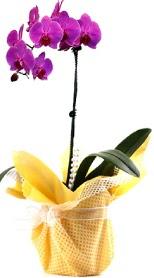 Türkiye çiçekçi telefonları  Tek dal mor orkide saksı çiçeği