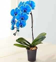 1 dallı süper eşsiz mavi orkide  Türkiye uluslararası çiçek gönderme