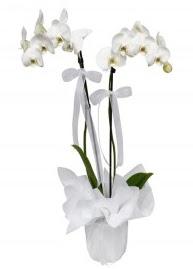 2 dallı beyaz orkide  Türkiye anneler günü çiçek yolla