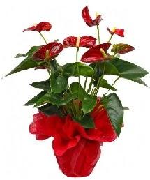Antorium saksı çiçeği  Türkiye çiçek gönderme