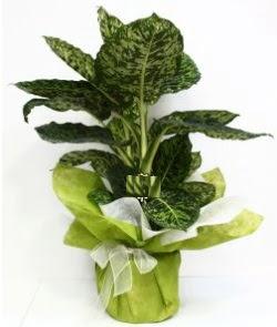 Difenbahya Marianne orta boy  Türkiye internetten çiçek siparişi