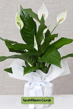 Spatifilyum Orta boy Saksı çiçeği  Türkiye çiçek siparişi vermek