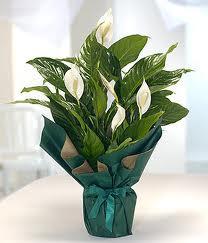 Spatifilyum Barış çiçeği Büyük boy  Türkiye cicekciler , cicek siparisi