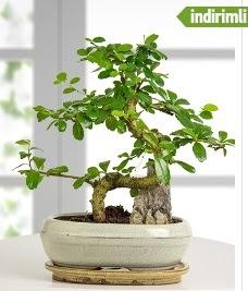 S şeklinde ithal gerçek bonsai japon ağacı  Türkiye çiçek satışı