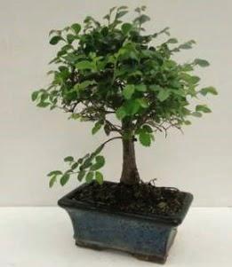 Bonsai saksı bitkisi japon ağacı  Türkiye çiçek siparişi vermek