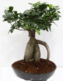 5 yaşında japon ağacı bonsai bitkisi  Türkiye çiçek satışı