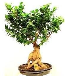Bonsai Japon ağacı saksı bitkisi  Türkiye çiçekçi telefonları