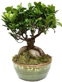 Japon ağacı bonsai saksı bitkisi  Türkiye çiçek mağazası , çiçekçi adresleri