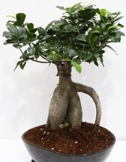 Japon ağacı bonsai saksı bitkisi  Türkiye güvenli kaliteli hızlı çiçek