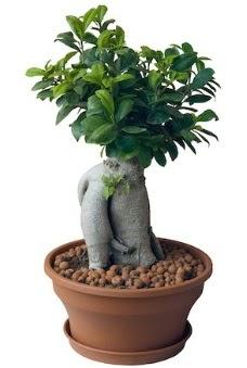 Japon ağacı bonsai saksı bitkisi  Türkiye yurtiçi ve yurtdışı çiçek siparişi