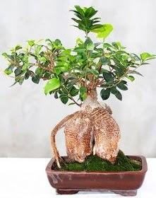 Japon ağacı bonsai saksı bitkisi  Türkiye çiçek gönderme sitemiz güvenlidir