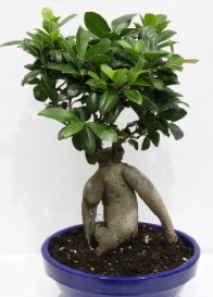 bonsai japon ağacı saksı çiçeği  Türkiye cicekciler , cicek siparisi