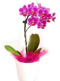 Tek dallı mor orkide  Türkiye online çiçekçi , çiçek siparişi