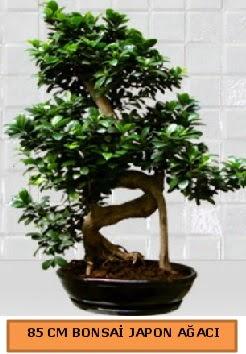 85 CM Japon ağacı Bonsai saksı bitkisi  Türkiye çiçek gönderme sitemiz güvenlidir
