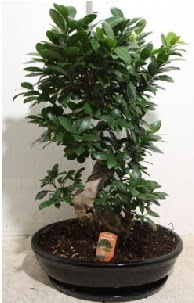 75 CM Ginseng bonsai Japon ağacı  Türkiye çiçek yolla