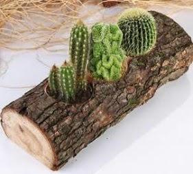 Doğal ağaç 4 adet kaktüs tanzimi  Türkiye online çiçekçi , çiçek siparişi
