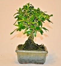 Zelco bonsai saksı bitkisi  Türkiye cicekciler , cicek siparisi