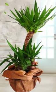 2 li yucca saksı çiçek bitkisi  Türkiye çiçekçi telefonları