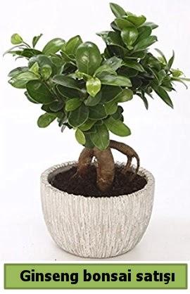 Ginseng bonsai japon ağacı satışı  Türkiye online çiçekçi , çiçek siparişi
