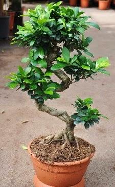Orta boy bonsai saksı bitkisi  Türkiye ucuz çiçek gönder