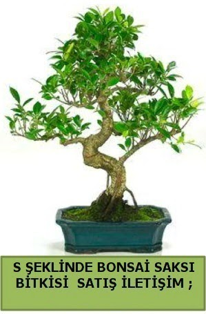 İthal S şeklinde dal eğriliği bonsai satışı  Türkiye yurtiçi ve yurtdışı çiçek siparişi