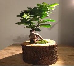 Doğal kütükte Bonsai japon ağacı satışı  Türkiye çiçek satışı