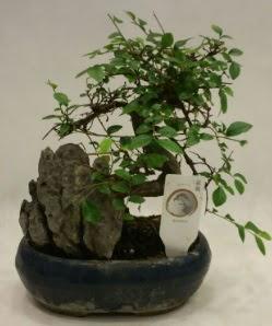 İthal 1.ci kalite bonsai japon ağacı  Türkiye çiçek yolla , çiçek gönder , çiçekçi