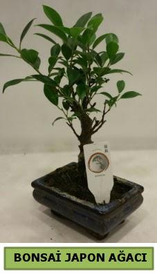 Bonsai japon ağacı saksı bitkisi  Türkiye cicekciler , cicek siparisi