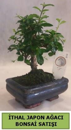 İthal japon ağacı bonsai bitkisi satışı  Türkiye online çiçekçi , çiçek siparişi
