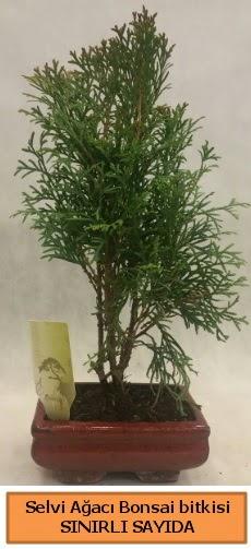 Selvi ağacı bonsai japon ağacı bitkisi  Türkiye çiçek yolla , çiçek gönder , çiçekçi