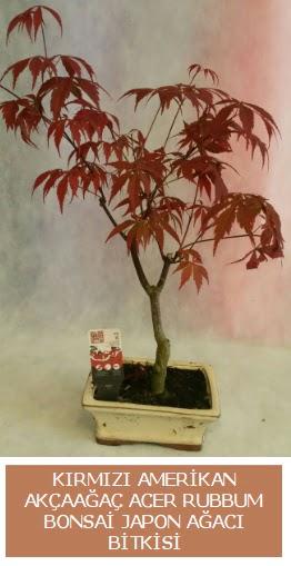 Amerikan akçaağaç Acer Rubrum bonsai  Türkiye çiçekçiler