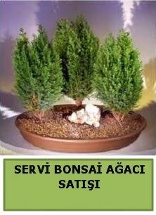BONSAİ 3 LÜ SERVİ BONSAİ AĞACI  Türkiye online çiçekçi , çiçek siparişi