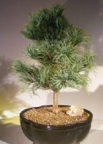 Çam ağacı bonsai bitkisi satışı  Türkiye çiçek gönderme sitemiz güvenlidir