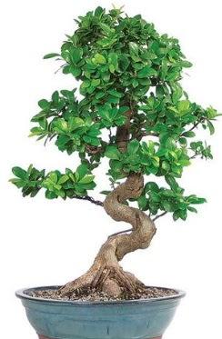 Yaklaşık 70 cm yüksekliğinde ithal bonsai  Türkiye online çiçekçi , çiçek siparişi