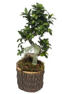 Doğal kütükte bonsai saksı bitkisi  Türkiye çiçek mağazası , çiçekçi adresleri