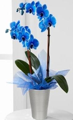 Seramik vazo içerisinde 2 dallı mavi orkide  Türkiye İnternetten çiçek siparişi
