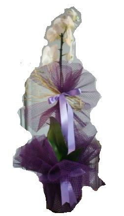 Tek dallı beyaz orkide süper kalite ithal  Türkiye çiçekçi telefonları