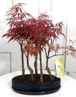 5 adet japon akçaağaç bonsai çiçeği  Türkiye çiçek yolla , çiçek gönder , çiçekçi
