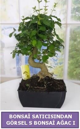 S dal eğriliği bonsai japon ağacı  Türkiye çiçek yolla , çiçek gönder , çiçekçi
