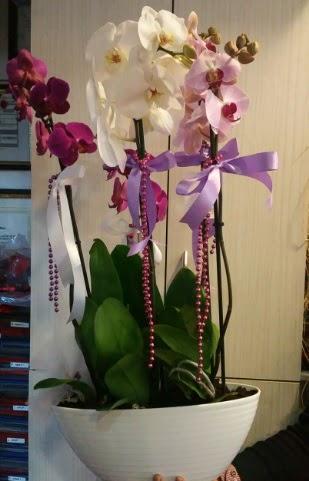 Mor ve beyaz ve pembe 6 dallı orkide  Türkiye çiçek gönderme sitemiz güvenlidir